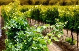 Normativa europea para los vinos ecológicos 2012